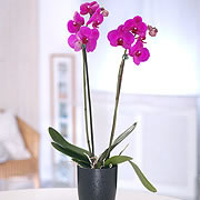 Purple Orchid, two purple Orchids in a vase